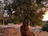 Naomi-olive-tree-rotated